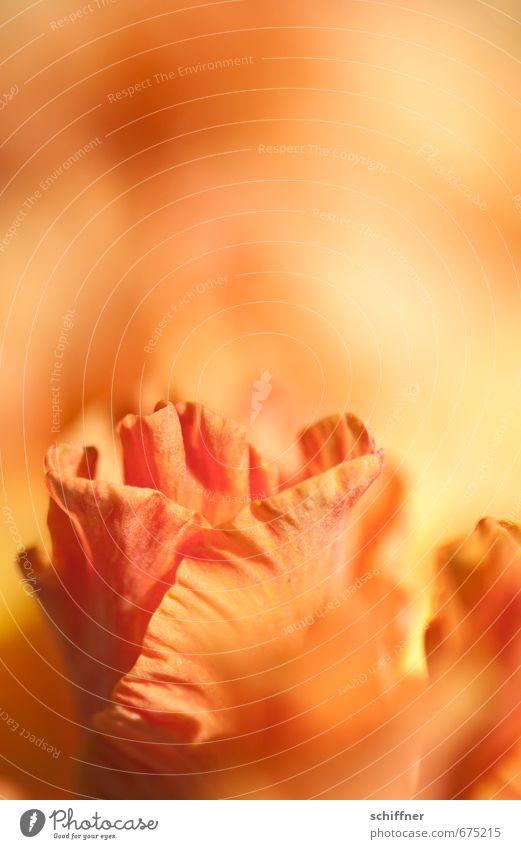 Mädchenblume Pflanze Blume Blüte Duft orange brennen Flamme Blütenblatt Blütenpflanze blütenblattartig Gladiolen Schwache Tiefenschärfe Außenaufnahme
