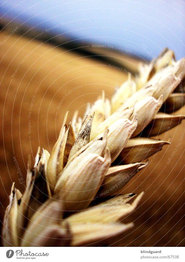 Why Zen? Sommer Wärme hell Feld Horizont verrückt Ausflug Physik Getreide Ernte Korn Weizen Ähren umfallen Schweiß Kaugummi