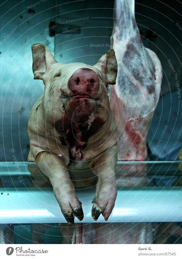 meet your meat Gefühle Lebensmittel Ernährung Landwirtschaft Fleisch Blut Säugetier Tier Schwein Nutztier Hausschwein töten Handwerk Sau Metzgerei Schlachthof