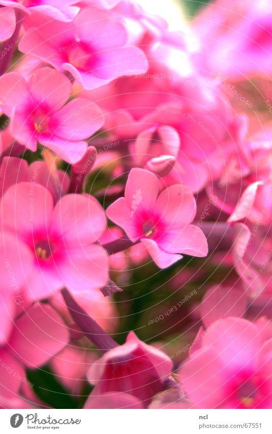 Blumenmeer rosa Pflanze Sommer Frühling Blüte Blumenstrauß Sträucher Vielfältig Ferien & Urlaub & Reisen grell Juli mehrere Makroaufnahme weich samtig Romantik