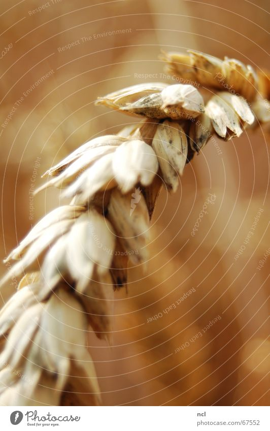 Weizen hautnah Ähren Feld Sommer Wiese Juli Makroaufnahme braun Physik aufsteigen Ernährung Mehl Getreide Ernte rasenmähen Korn August Nahaufnahme blur Wärme