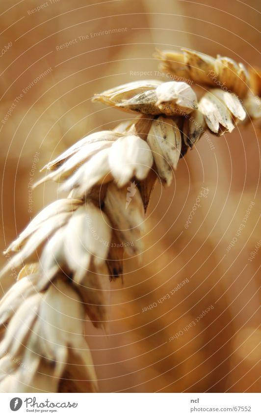 Weizen hautnah Sommer Wiese Wärme braun Feld Lebensmittel Ernährung Physik Getreide Korn Ernte aufsteigen Ähren Mehl August
