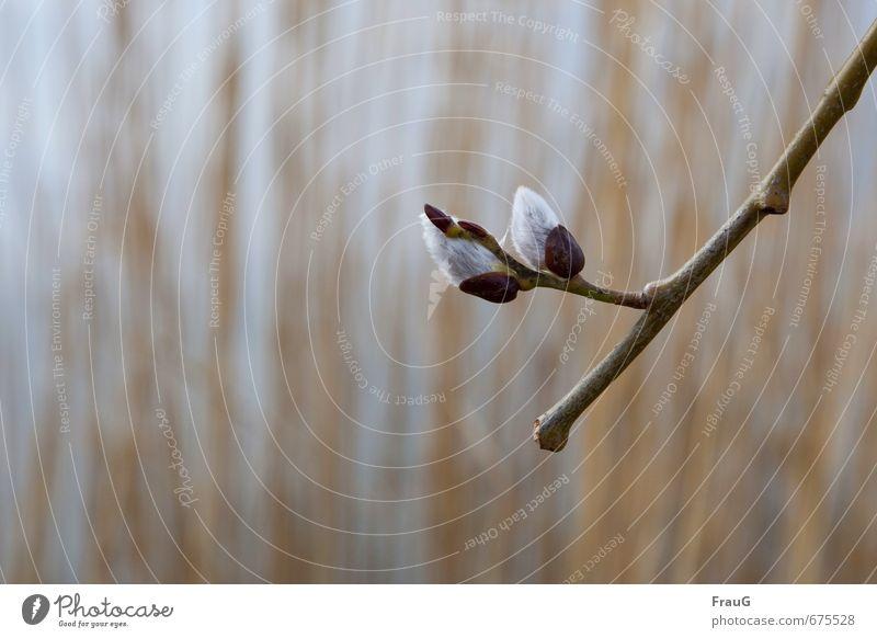 Frühlingskuscheln Natur Pflanze Zweig Weide Weidenkätzchen Blütenkätzchen weich Frühlingsgefühle Schwache Tiefenschärfe Unschärfe Farbfoto Außenaufnahme