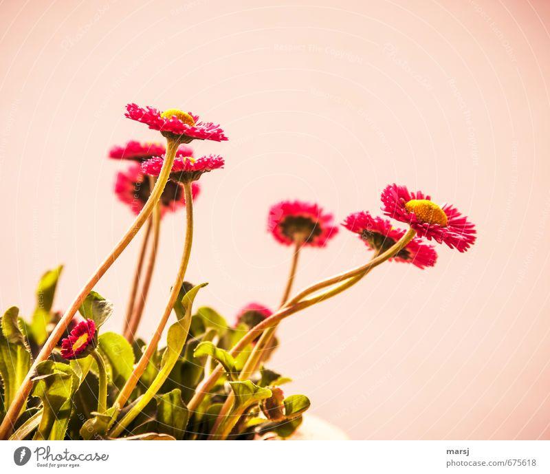 Bellis Frühling Sommer Pflanze Blume Blatt Blüte Grünpflanze Gänseblümchen Blühend leuchten Wachstum Duft dünn authentisch einfach Freundlichkeit Fröhlichkeit