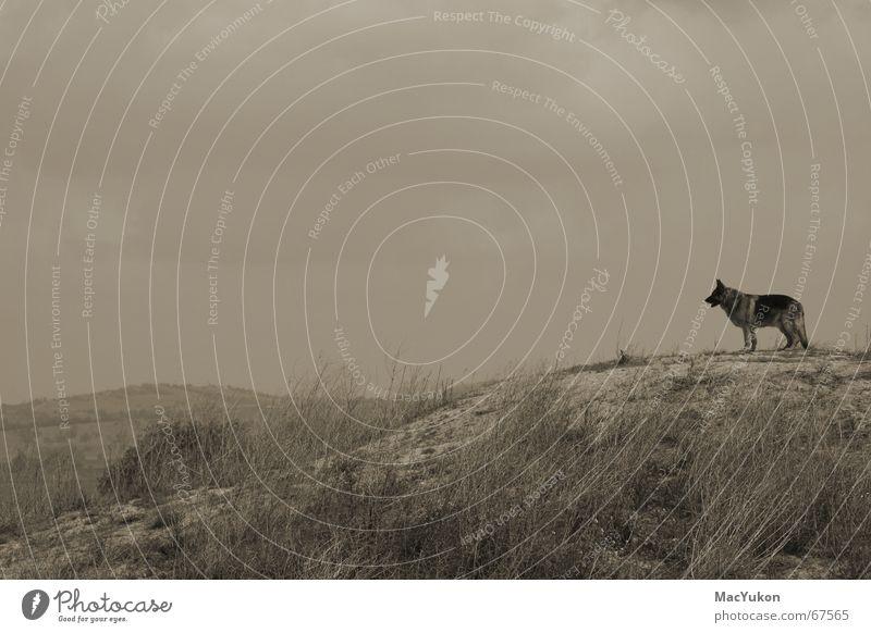 Lonely Einsamkeit Ferne Berge u. Gebirge Hund Aussicht Hügel Steppe Sepia Wolf