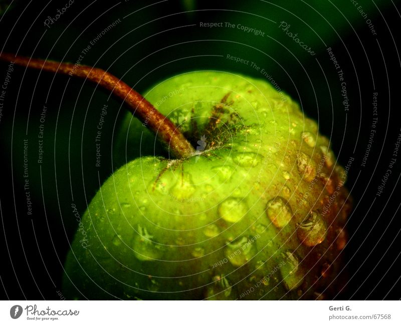 KnackA pfel lecker fruchtig Wassertropfen hydrophob Apfelbaum dunkel Gartenobst grün hängen lassen Frucht grünfutter Stengel dranhängen anhängsel
