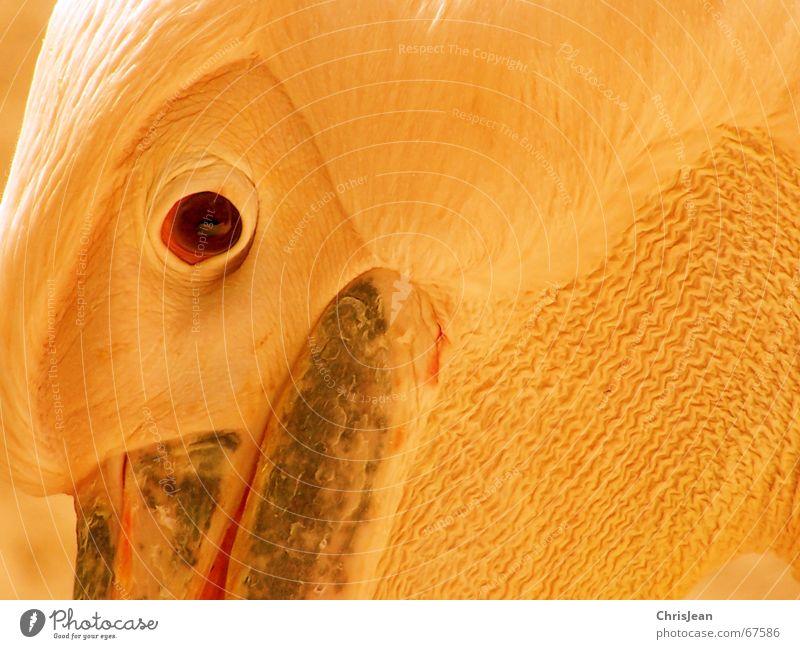 Titellos Auge Tier Vogel Denken Stolz Pelikan Vogelkopf Vogelauge Schnabel Feder pelican reines gewissen animal bird head eye bird eye bill plumage proudly