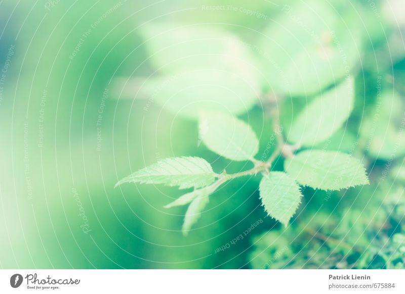 Fresh Feeling Umwelt Natur Pflanze Urelemente Frühling Sträucher Blatt Grünpflanze Wildpflanze Wald eckig hell schön natürlich Originalität stachelig träumen