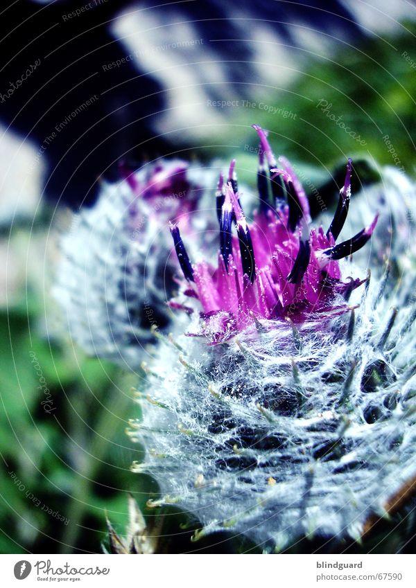 Die Farbe Lila (1) Natur weiß Blume grün Pflanze Blüte Feld violett Nähgarn Feldrand Gelegenheit
