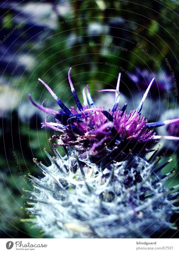 Die Farbe Lila (2) Natur weiß Blume grün Pflanze Blüte Feld violett Nähgarn Feldrand Gelegenheit