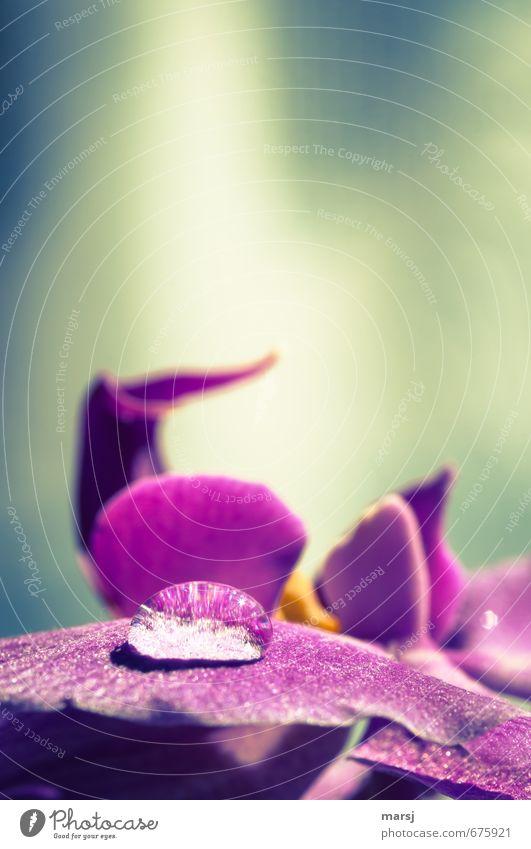 Tropfen Meditation Natur Pflanze Wasser Wassertropfen Orchidee Blüte Topfpflanze exotisch Blühend Erholung glänzend genießen leuchten liegen träumen dunkel