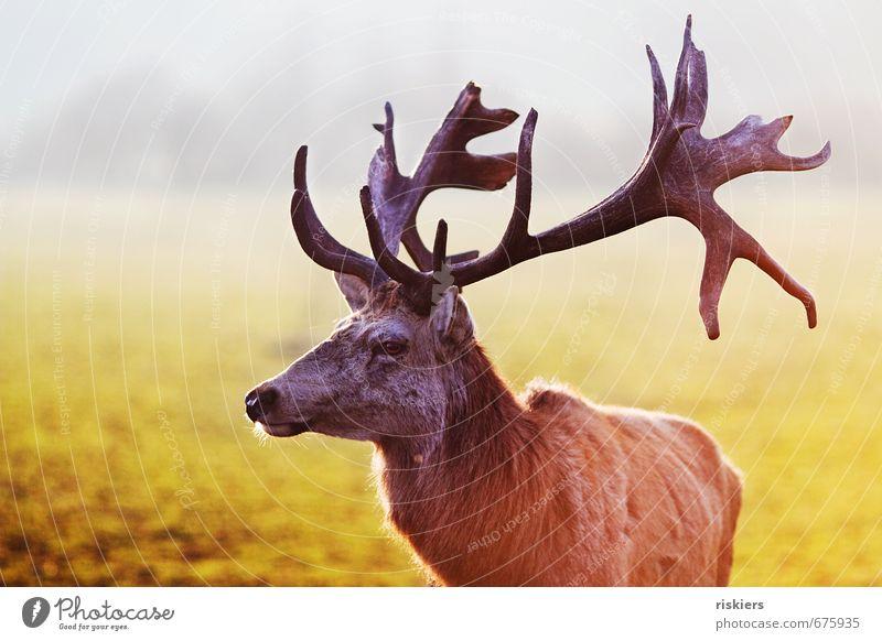 the majestic stag Natur Einsamkeit ruhig Tier Umwelt Wiese Frühling Kraft Wildtier warten ästhetisch Schönes Wetter beobachten Neugier Gelassenheit Wachsamkeit