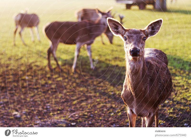 the deer with the glowing eyes Natur Sonne ruhig Tier Umwelt Wiese Frühling Gesundheit Wildtier warten frisch ästhetisch Schönes Wetter beobachten Tiergruppe