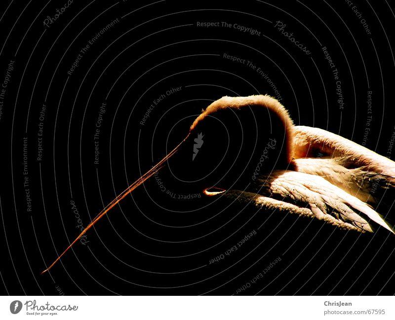 Pelikan Tier Vogel Vogelkopf Schnabel Feder Denken bearbeitet dunkel schwarz Studioaufnahme pelican Stolz reines gewissen animal bird head bill plumage proudly