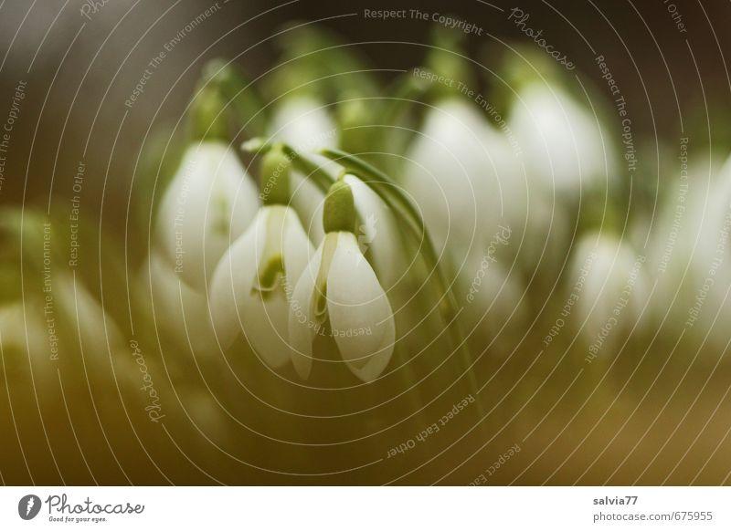 Schneeglöckchen Natur schön grün weiß Pflanze Blume ruhig Blatt schwarz Wiese Frühling Blüte Glück natürlich Garten träumen
