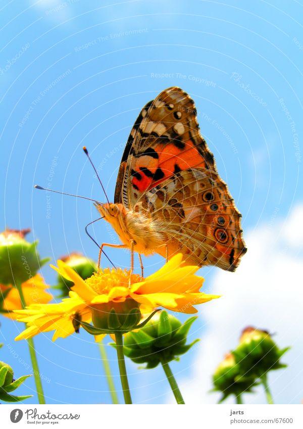 Butterfly schön Himmel Blume Sommer Wolken Farbe Flügel Schmetterling Sommerfarbe