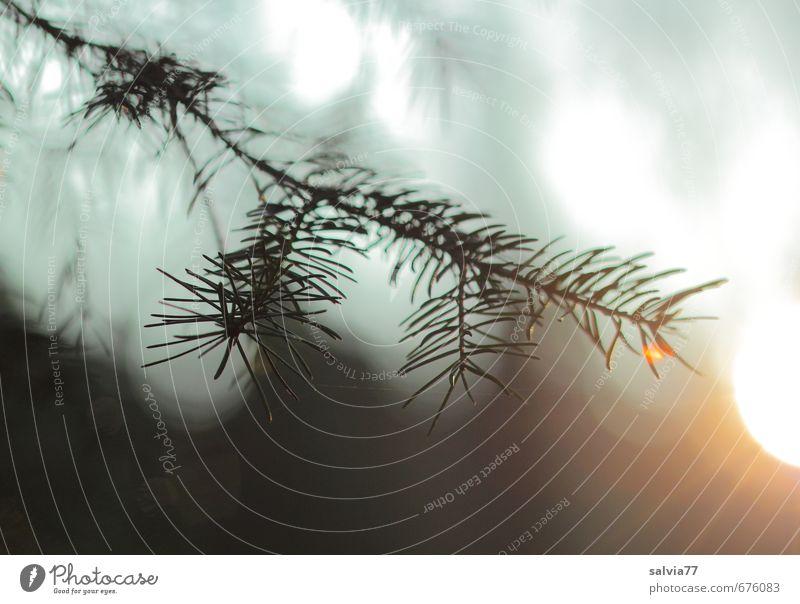 Lichtflut ruhig Sonne Natur Pflanze Luft Frühling Sommer Herbst Wald leuchten Erholung Idylle Trauer träumen Umwelt Fichte Zweig Lichtspiel