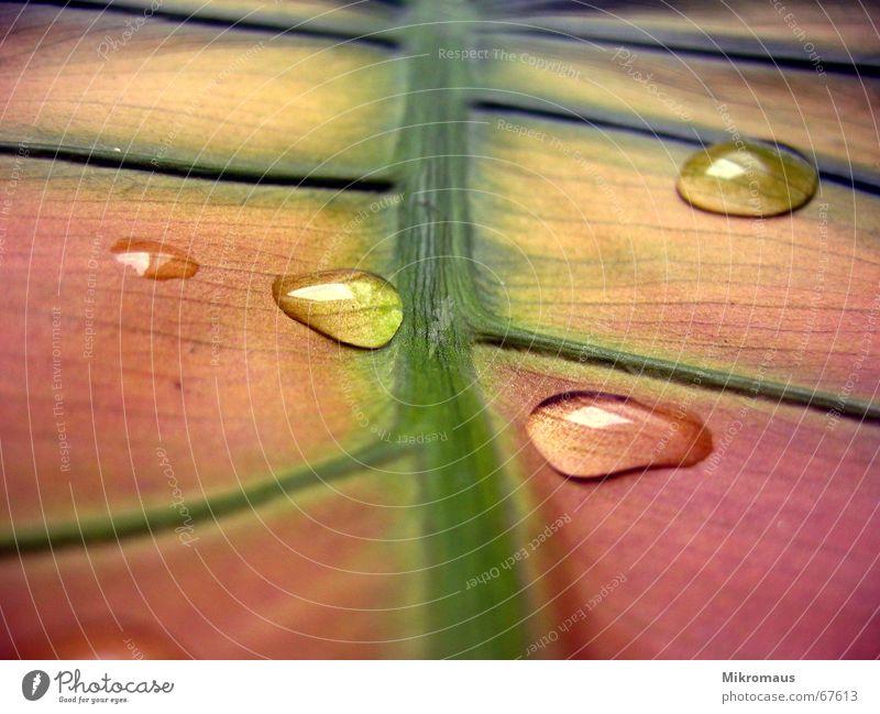 und noch mehr Tropfen Herbst Blatt Pflanze Natur Grünpflanze Topfpflanze Gefäße Wassertropfen Blattadern nass Regen Trinkwasser Tau feucht grün rot rosa