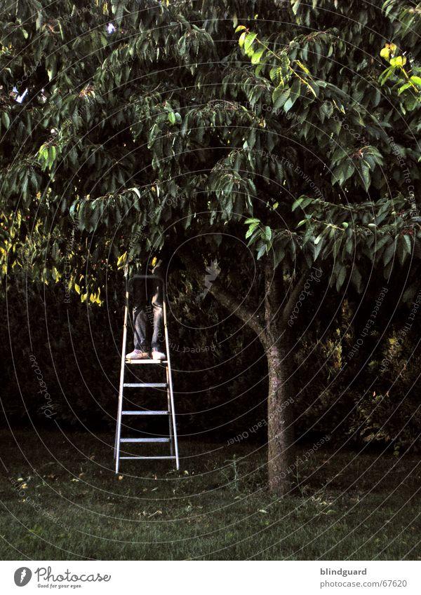 Ernteabend Kirsche süß dunkel stehen Ernährung zupfen spucken Leitersprosse Blatt Baum rot Dämmerung Kirschbaum Wut Abend Beine Fuß Garten klappleiter