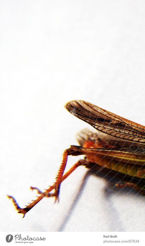 abgemurkst Ernährung gelb Tod Beine liegen Hinterteil Flügel Fressen Heuschrecke Hinterbein