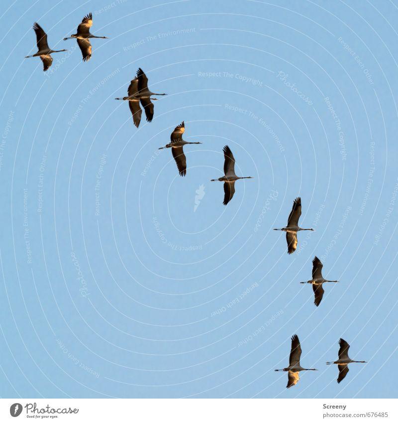 Welcome back... Natur Tier Himmel Wolkenloser Himmel Frühling Wildtier Vogel Kranich Tiergruppe Schwarm blau Frühlingsgefühle reisend fliegen fliegend