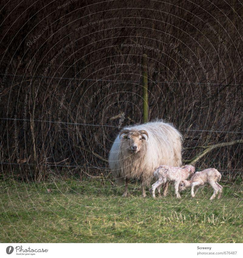 Mutterglück Natur Frühling Gras Feld Dorf Tier Nutztier Fell Schaf 3 Tierjunges Tierfamilie stehen Glück niedlich Lebensfreude Frühlingsgefühle Sicherheit