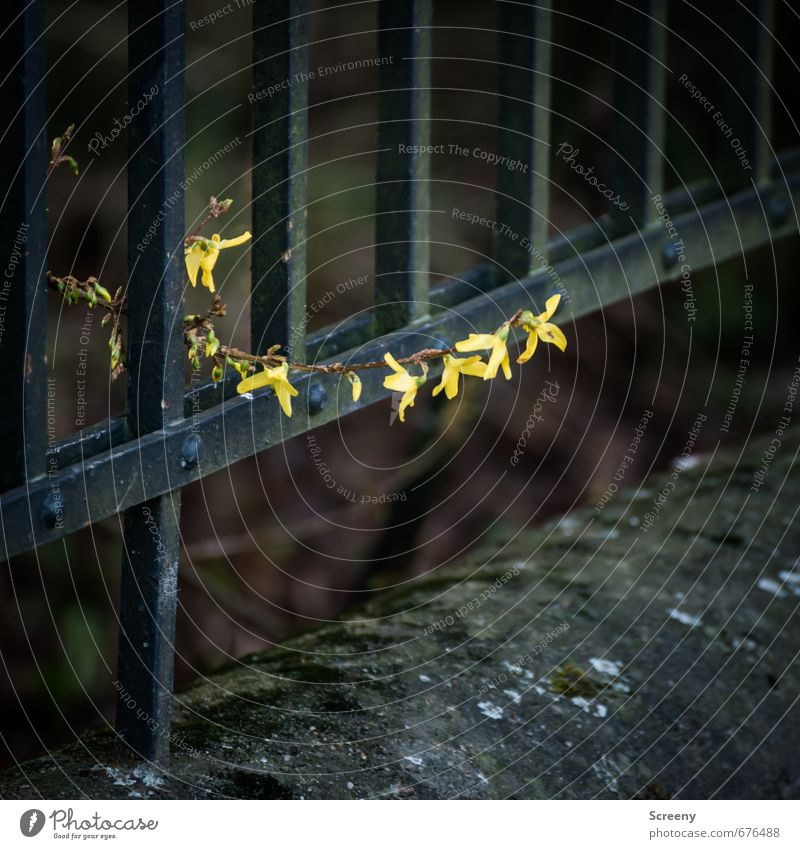 Grenzenlos... Umwelt Natur Pflanze Frühling Blüte Park Mauer Wand Zaun Metall gelb schwarz Optimismus Kraft Mut Leben Hoffnung Wachstum Sträucher Barriere