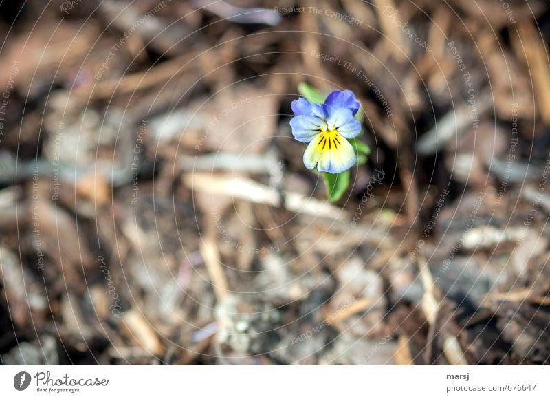 Einzelkämpfer Natur blau Pflanze Sommer Einsamkeit Blume gelb Frühling Blüte klein natürlich Garten träumen elegant leuchten Wachstum