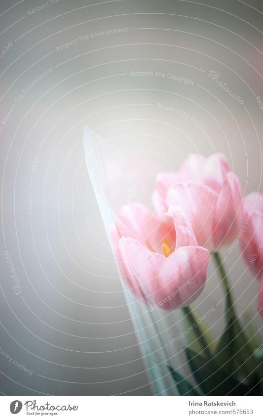 Tulpen Natur Pflanze Frühling Blume Blatt Blüte Blühend genießen schön niedlich rosa Gefühle Freude Fröhlichkeit Warmherzigkeit Farbfoto Menschenleer