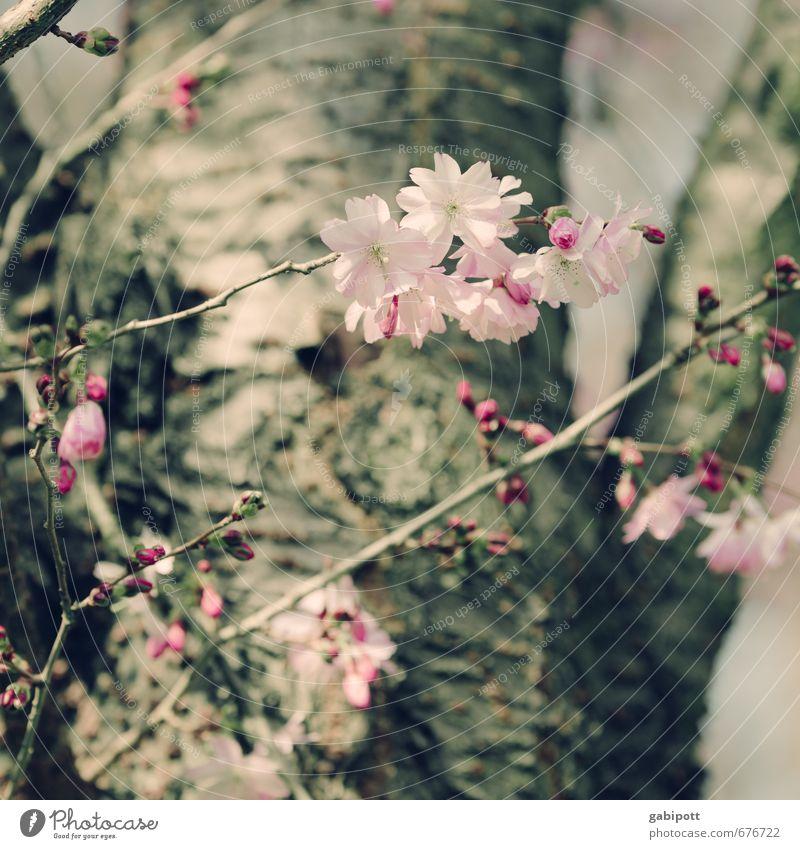 da sind sie wieder Umwelt Natur Landschaft Pflanze Frühling Schönes Wetter Baum Blüte Garten Park Blühend natürlich wild weich rosa Fröhlichkeit Lebensfreude