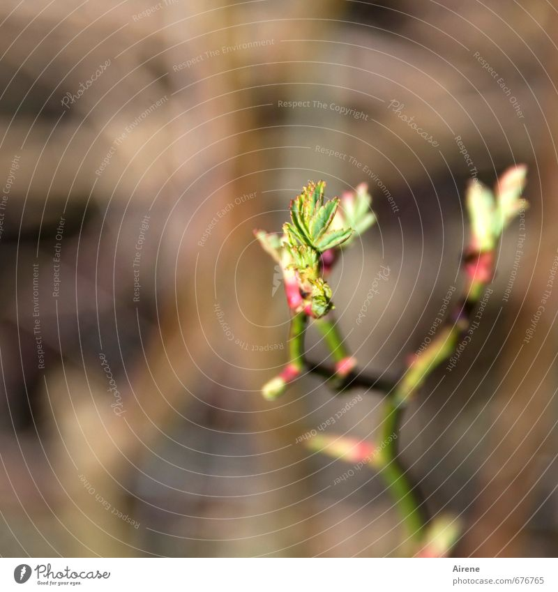 Entfaltung Natur grün Pflanze rot Blatt Wald Umwelt Frühling klein natürlich braun Kraft Wachstum Beginn Hoffnung zart