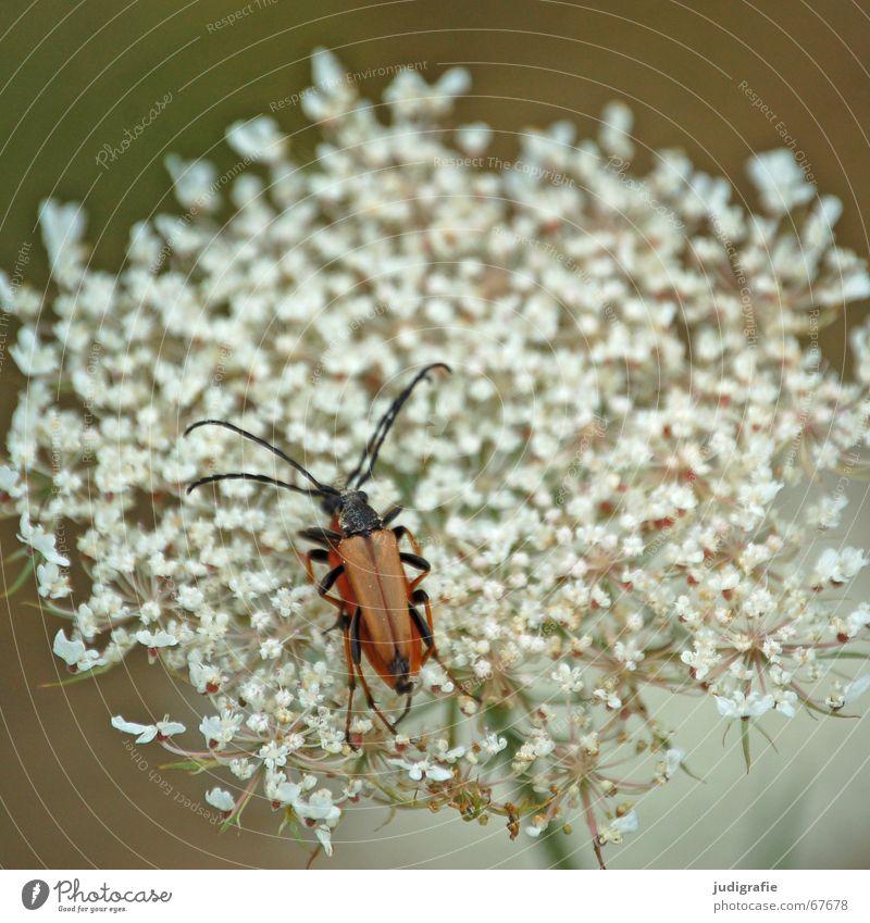 Blüte und zwei Käfer aufeinander Blume weiß braun schwarz Fühler Insekt Fortpflanzung Sommer noch ein käfer Natur Beine Heilpflanzen
