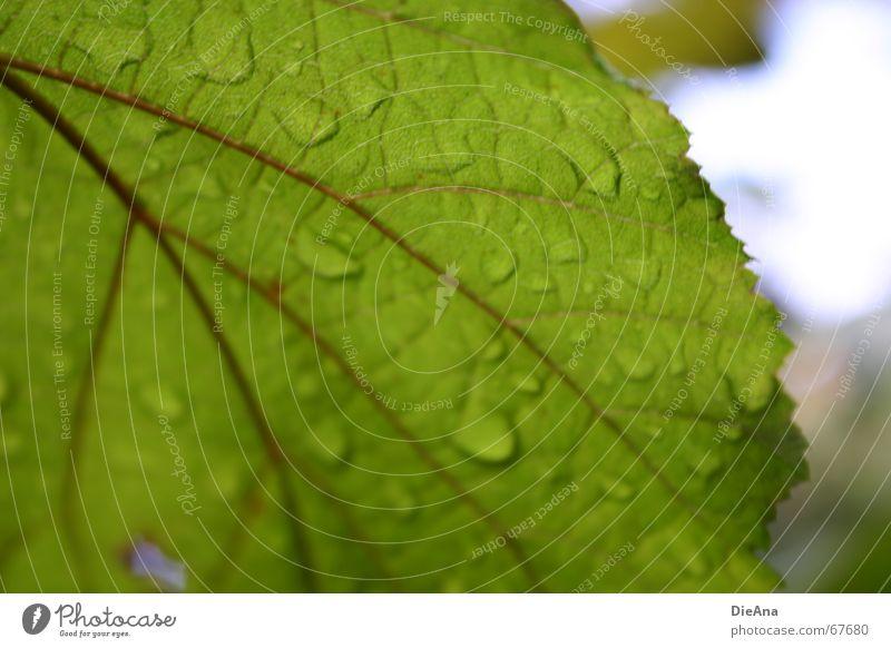 abweisend Blatt Blattadern Regen Pflanze Sommer grün Himmel Natur Unschärfe leaf raindrops sky