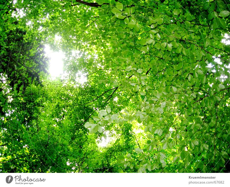 Grüne Blätterdecke grün Wald Blatt Baum Sommer Sonne Ast Himmel Lichtblick Wärme