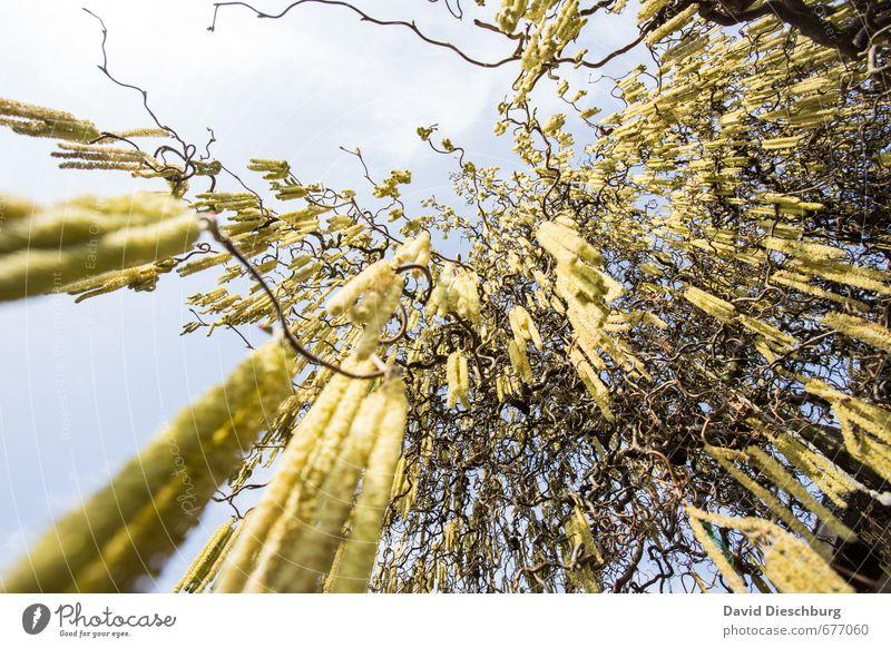Ab ins All II Natur Pflanze Tier Himmel Frühling Sommer Schönes Wetter Baum Garten Park blau braun gelb schwarz weiß Echter Walnussbaum Haselnuss Pollen Stauden