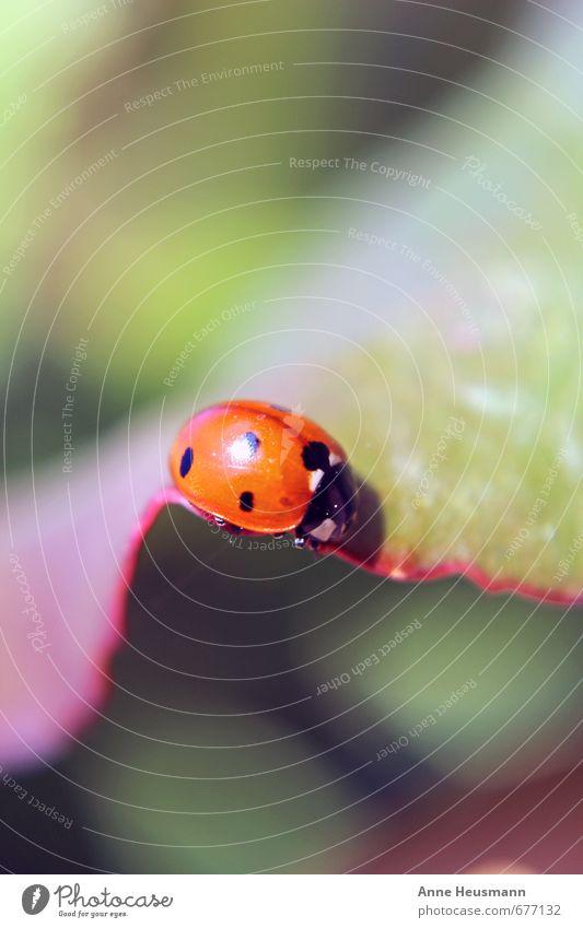 Marienkäfer auf Blatt Natur Pflanze grün Sommer rot Blatt Tier Umwelt Frühling natürlich Glück klein Garten Wildtier niedlich nah