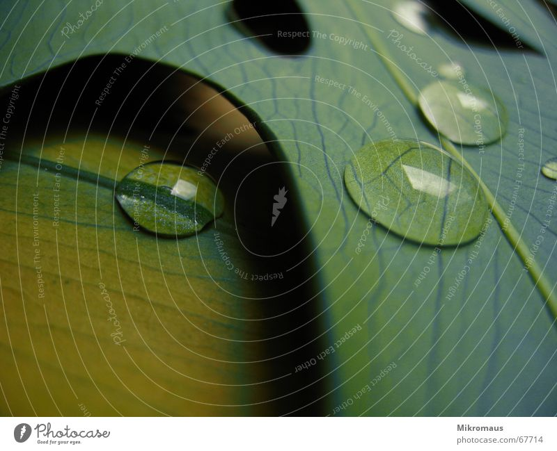 weine nicht, wenn der Regen fällt... Natur Pflanze grün Sommer Wasser Baum Blatt Herbst Beleuchtung Wassertropfen Trinkwasser nass Stengel Tau feucht