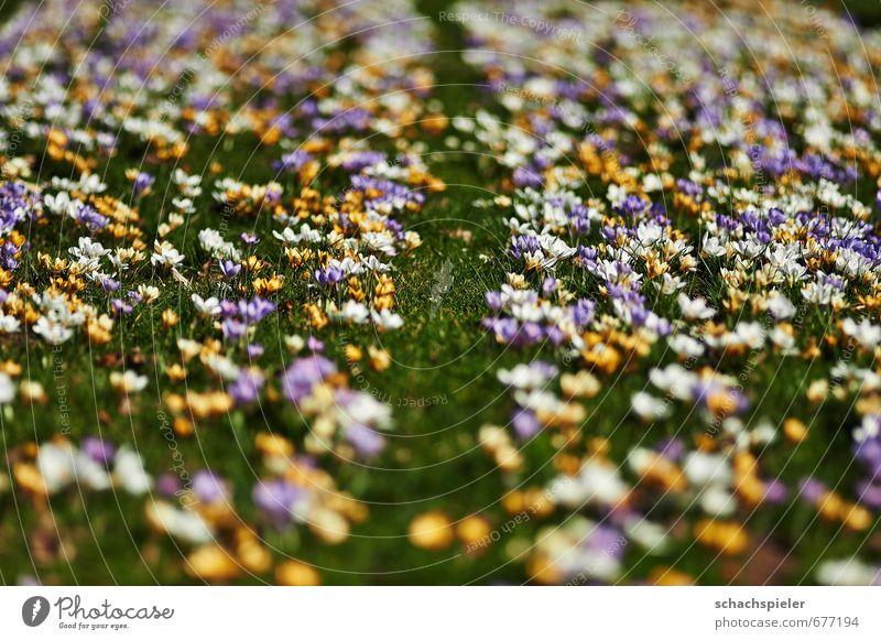 Krokusteppich Garten Frühling Blume Blüte Wiese schön gelb grün violett weiß Krokusse Crocus Schwertliliengewächse Farbenspiel Farbenwelt Farbenmeer Farbfoto
