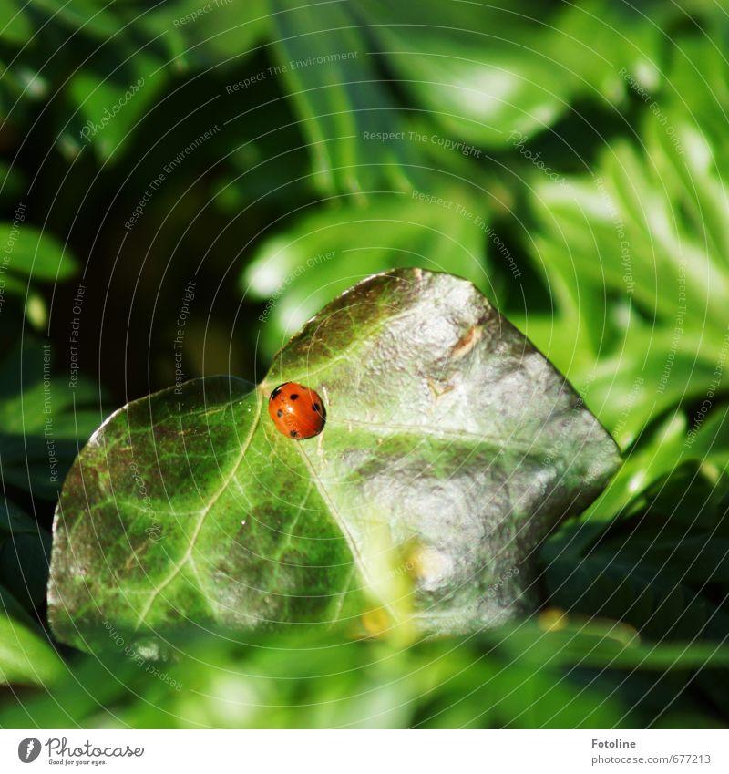 Glück Umwelt Natur Pflanze Tier Frühling Sträucher Blatt Käfer 1 hell klein Wärme grün rot schwarz Marienkäfer Efeu Farbfoto mehrfarbig Außenaufnahme