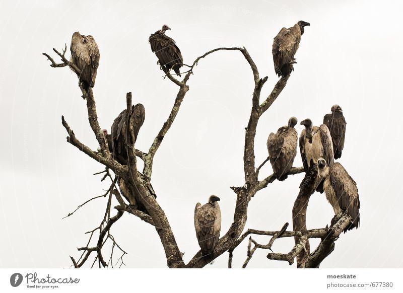 Unter Geiern Baum dunkel Vogel warten Appetit & Hunger kahl trüb Südafrika Geier Krüger Nationalpark