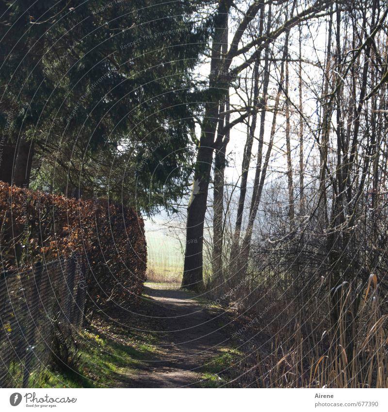 Alleingang Natur Landschaft Pflanze Baum Gras Grünpflanze Nadelbaum Hecke Zaun Schilfrohr Wald Wege & Pfade Fußweg gehen wandern braun grün Zufriedenheit