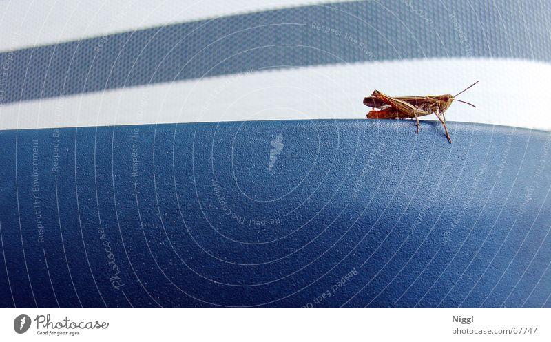 Grasshopper Heuschrecke Insekt Makroaufnahme Stil Streifen weiß Salto blau Stuhllehne niggl