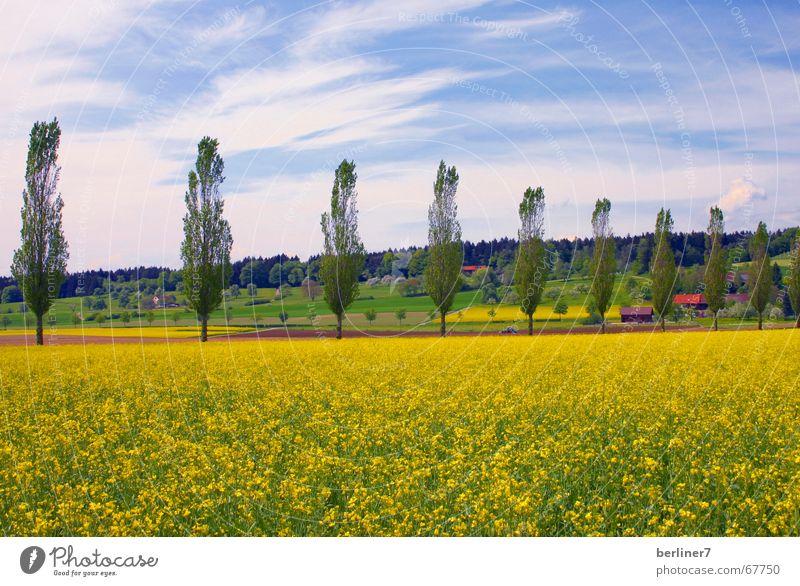 Gelb-Sucht Raps Pappeln Hügel Wolken gelb Panorama (Aussicht) Sommer Natur Landschaft blau groß