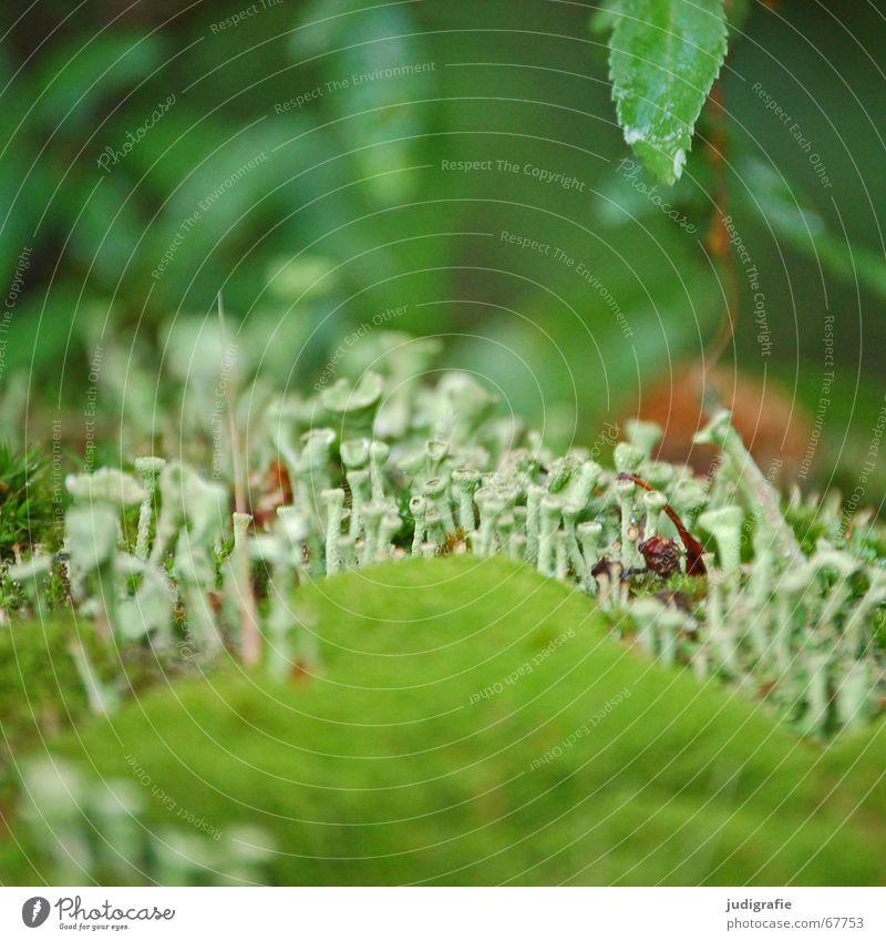 Moos Algen Trichter Trompete grün Blatt nass feucht Märchen klein Sommer Flechten binden Leben Natur elfenland