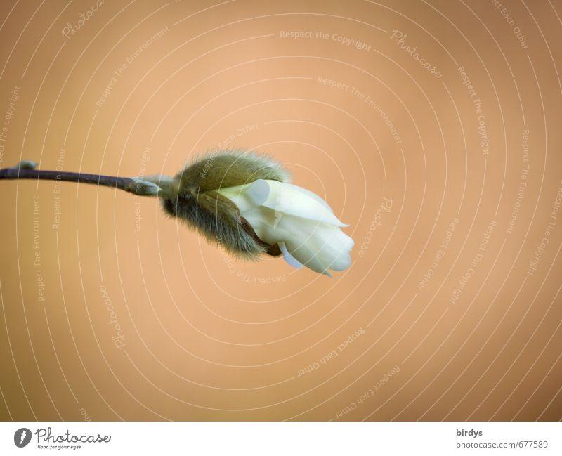 Sternmagnolie im Aufbruch Pflanze Frühling Blüte Stern-Magnolie Blütenknospen Blühend Duft ästhetisch positiv schön Frühlingsgefühle Vorfreude Beginn
