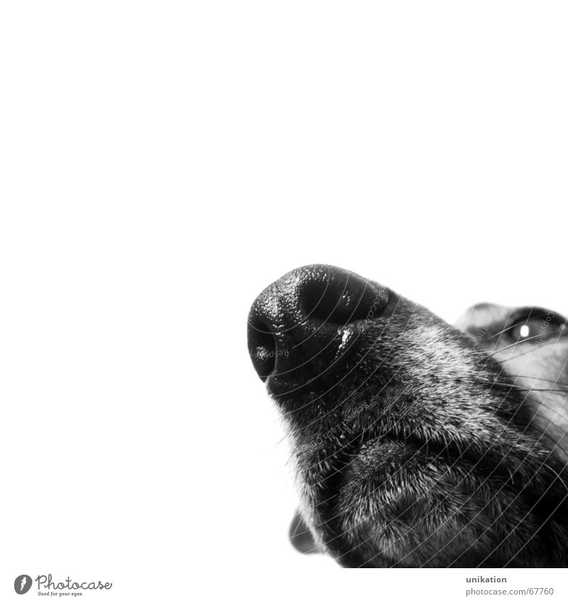 Immer der Nase nach ... Hund Schnauze Geruch schwarz weiß Kontrolle Fell Wachsamkeit Freisteller Schwarzweißfoto Makroaufnahme Haare & Frisuren Blick beobachten