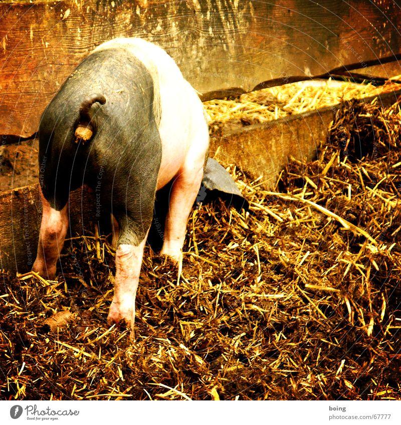 kann gar nicht soviel fressen, wie ich scheißen möchte Ernährung Bauernhof Kot Landwirtschaft Säugetier Haustier Schwein Bioprodukte Biologische Landwirtschaft Kennwort Pferch Vieh Sau Hausschwein biologisch Düngung