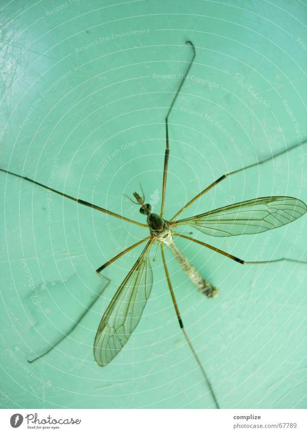 insekt turquoise Leben Auge Bauch Beine Fuß Natur Tier Fluggerät Flügel fliegen blau grün türkis Angst Insekt grün-blau Koloss Stechmücke Vieh Fühler Panik