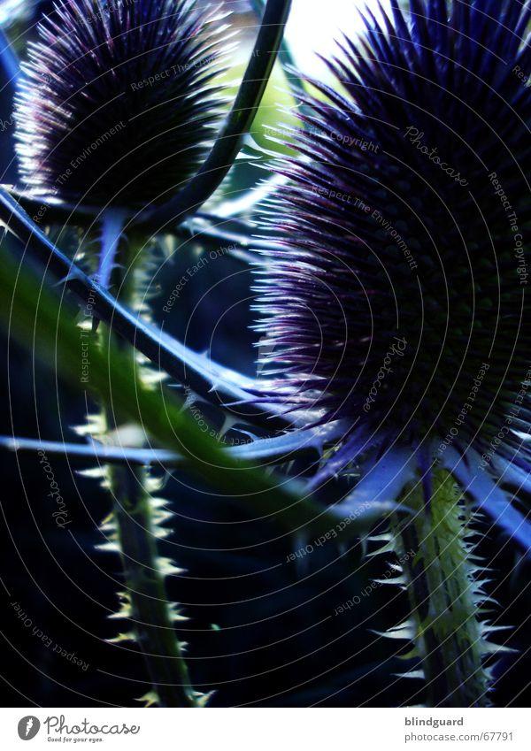 Distel ... Natur blau grün schön Pflanze schwarz dunkel Feld Freizeit & Hobby Schmerz Flur Stachel stechen Dorn Heilpflanzen