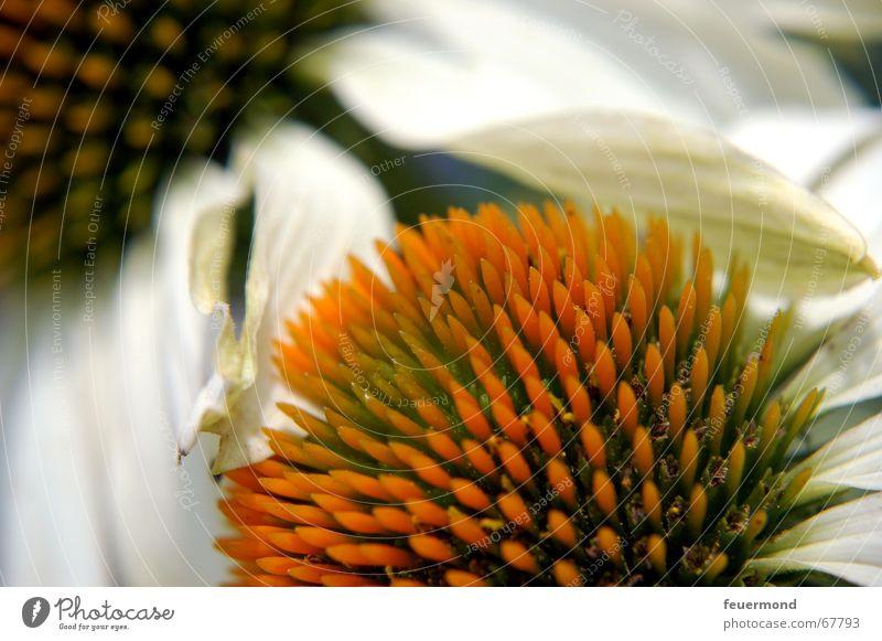 weißer Sonnenhut Blume Pflanze Sommer Blüte Garten Blütenknospen Blütenblatt Stauden